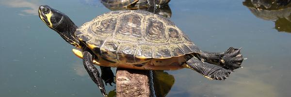 turtle_600x200